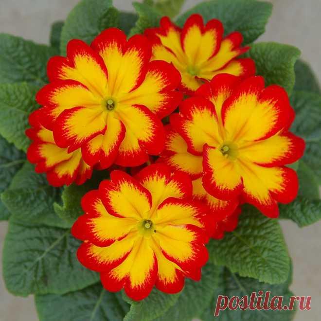 Прекрасньй цветок - Примула:).