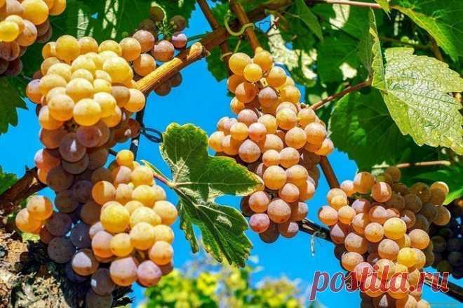 Подкормка винограда осенью: основные правила и 4 рецепта