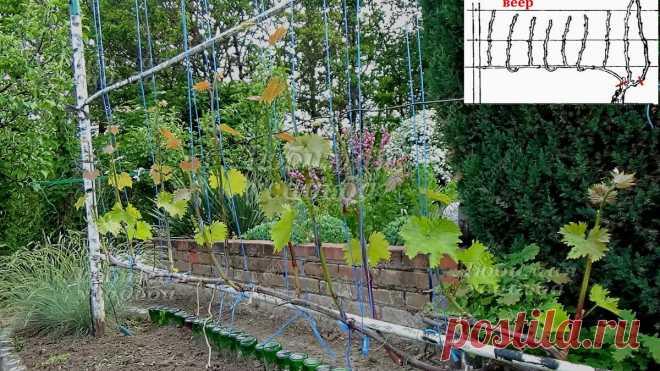 Какая формировка для винограда лучше? КОРДОН или ВЕЕР. | Любимая усадьба | Яндекс Дзен