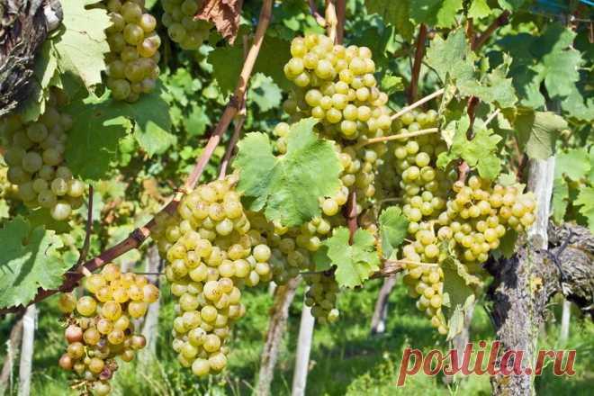 Секреты выращивания виноградной лозы Добрый день, мой читатель. Технология выращивания теплолюбивого винограда не настолько сложна, как... Читай дальше на сайте. Жми подробнее ➡