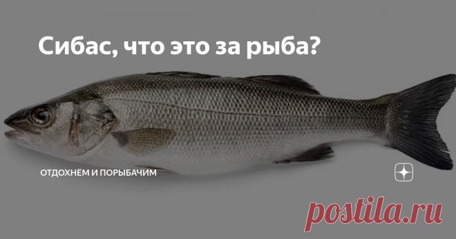 Сибас, что это за рыба? Сибас, он же лаврак Уже несколько лет в крупных сетевых магазинах продают рыбу сибас. Что это за рыба? Внешне похожа на окуня или судака, только чешуя более светлая и серебристая. Так кто же он, этот сибас? Эта морская рыба широко распространена в водах Атлантического океана, прекрасно известна во всех приморских странах Европы и Северной Африки под различными именами - морской судак, морской