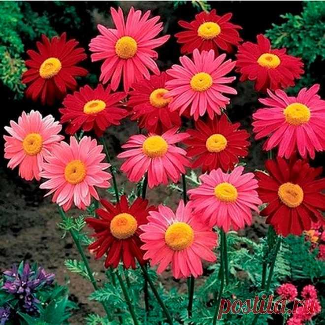 Многолетний садовый цветок Пиретрум (Pyrethrum). Семейство: сложноцветные (Compositae). Многолетнее травянистое растение с крупными ромашковидными цветками различных окрасок и продолжительным цветением. Стебель малооблиственный, высотой до 1 м, листья перисторассеченные. Цветет в июне - июле.  Основные виды К многолетним видам относятся: п.розовый (P.roseum) - высотой 60-75 см; прикорневые ажурные листья образуют розетку; соцветия диаметром до 7-8 см, простые, полумахровые или махровые.