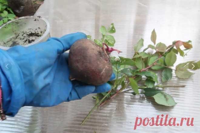 Подсмотрела способ укоренения роз на индийском сайте