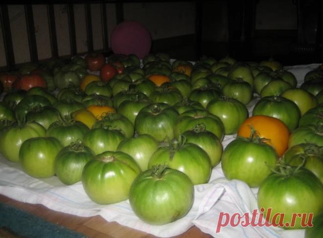 Знаете почему помидоры нельзя хранить в холодильнике?   6 соток
