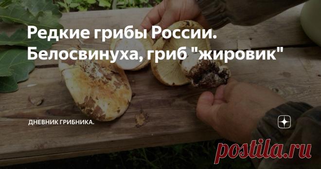 Редкие грибы России. Белосвинуха, гриб