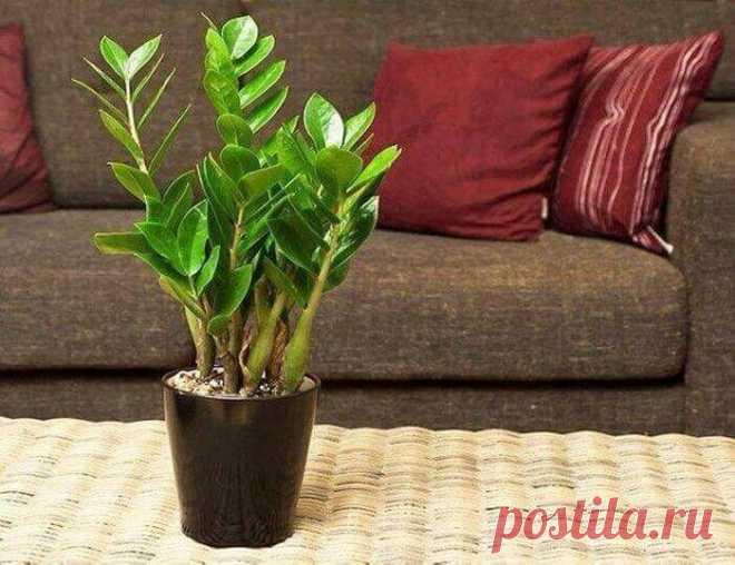 Красавец замиокулькас: 10 причин завести это растение в доме Красавец замиокулькас: 10 причин завести это растение в доме. Сложно не задержать взгляд на этом растении: глянцевые темно-зеленые листья, мясистое клубнеоб