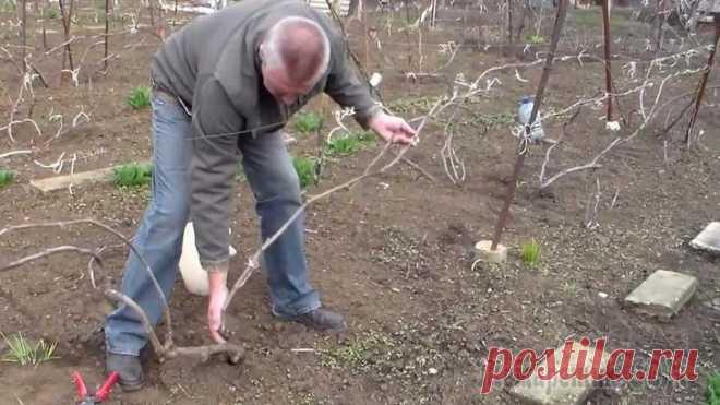 Весеннее раскрытие и опрыскивание винограда