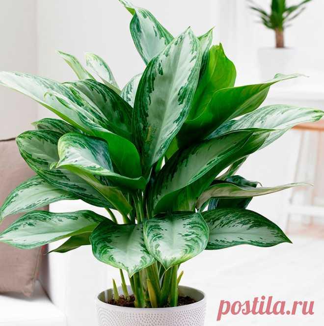 Аглаонема: уход в домашних условиях, размножение и пересадка Растение аглаонема (Aglaonema) является представителем семейства ароидных. Данный род объединяет около 20–50 видов. Растение в природных условиях встречается в дождевых лесах тропической части Новой Гвинеи.