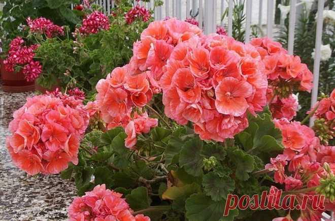 Чтобы обеспечить герани пышное цветение, нужно знать ЭТИ правила! Моим цветам завидуют все соседи.