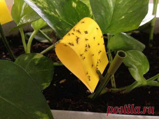 Как избавиться от цветочных мошек без опрыскивания инсектицидами: опыт цветоводов | Ваш Цветок | Яндекс Дзен