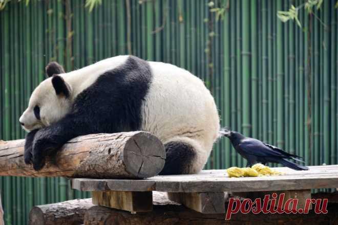 Ворона выщипывает панду на мех для гнезда фото         (2 фото) . Чёрт побери