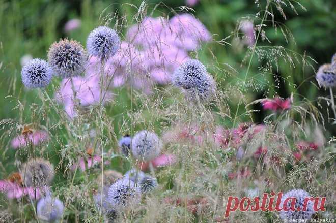 Мой сад в конце июля: цветут флоксы, розы, клематисы и гортензии   Сады и цветы  