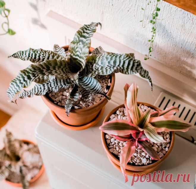 Криптантус: уход в домашних условиях, пересадка и размножение Такое популярное в домашнем цветоводстве растение, как криптантус (Cryptanthus) имеет прямое отношение к семейству бромелиевые (Bromeliaceae).