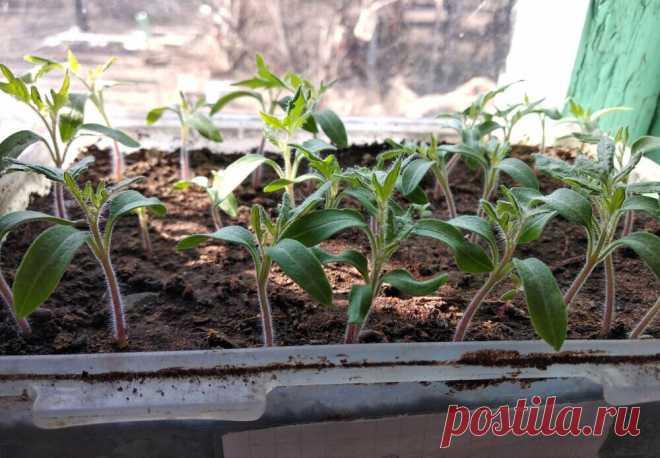 Как я ухаживаю за рассадой, чтобы росла крепкая | Садовичок | Яндекс Дзен