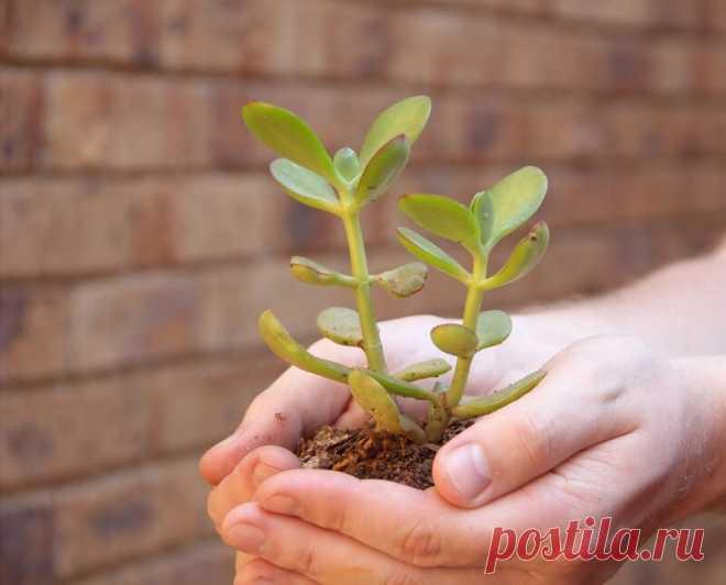Как правильно пересаживать денежное дерево, чтобы оно хорошо росло и привлекало в дом богатство | Лайфхаки и полезные советы | Яндекс Дзен