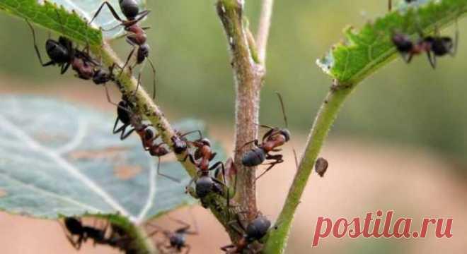 Нашатырный спирт против муравьев — 🍎 Сад Заготовки