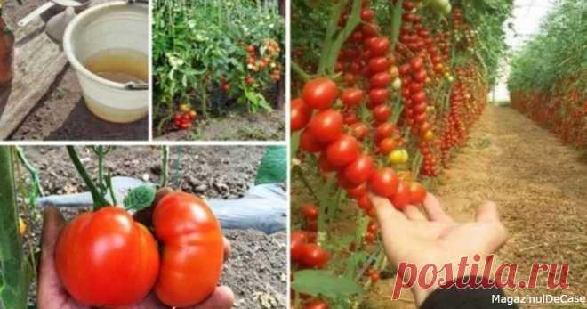 Попшикайте этим средством на огурцы и помидоры - и они никогда не будут «болеть» - Ok'ейно Рецепт простого натурального средства