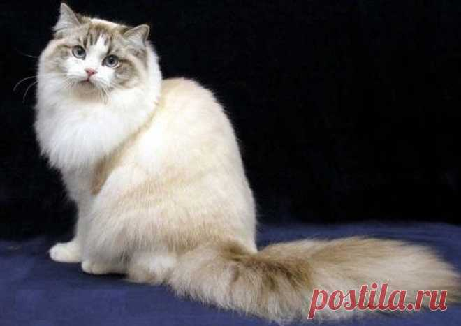 ༺🌸༻Порода кошек Рагамаффин