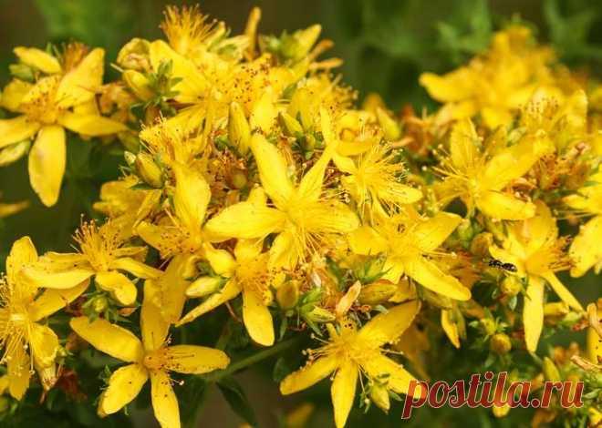 Зверобой - трава от 99 болезней