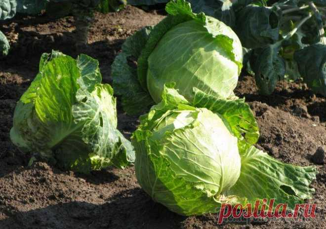 Top dressing of a white cabbage