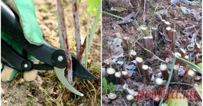 Почему у ремонтантной малины надо вырезать всю надземную часть    Обрезка – важная составляющая правильного ухода за кустарником. Давайте разберемся, как и когда обрезать ремонтантную малину, чтобы растение ежегодно давало хороший урожай сочных ягод, не поврежден…