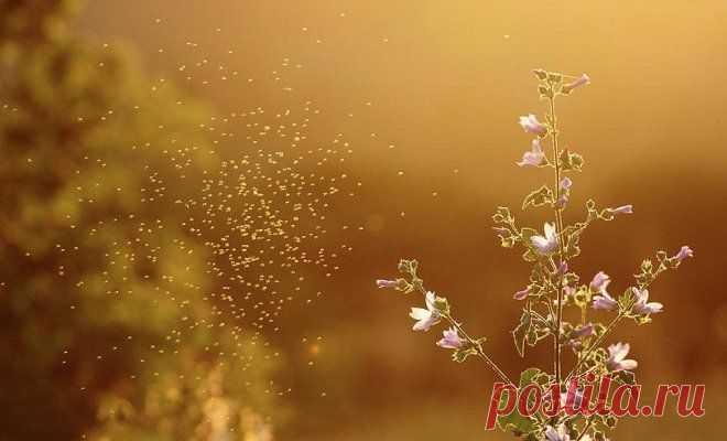 8 plantas, que espantan los mosquitos | En el macizo de flores (Огород.ru)