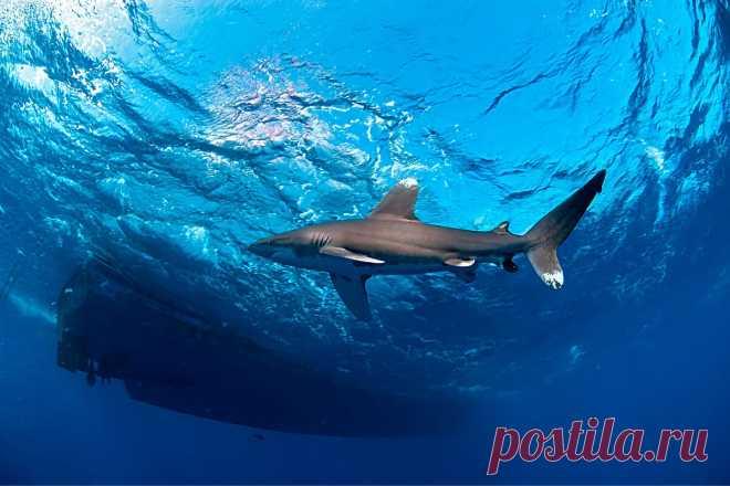 Длиннокрылая акула: 9 интересных фактов из жизни лонгимануса   Приключения натуралиста   Яндекс Дзен