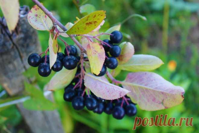Черноплодка - ягода, которая начала активно культивироваться в СССР и заняла почетное место у садоводов   Деревушка долголетия   Яндекс Дзен