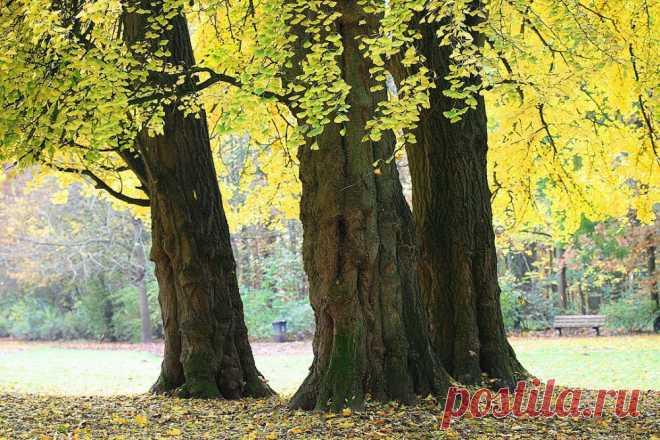 Гинкго билоба. Дерево, дарующее молодость