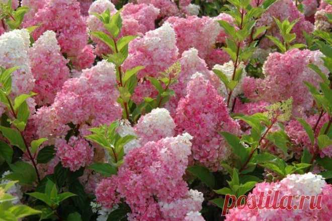 Метельчатая гортензия: сорта с фото и названиями Редкий цветок способен так же ярко и эффектно украсить участок, как метельчатая гортензия. Ее пышные соцветия привлекают внимание издалека, а вблизи очаровывают своей красотой. Растение легко переносит холодный климат и отлично чувствует себя в наших садах. Чаще всего встречаются белые, розовые и красноватые цветы. Именно о сортах метельчатой гортензии с фото и названиями мы сегодня расскажем подробнее!