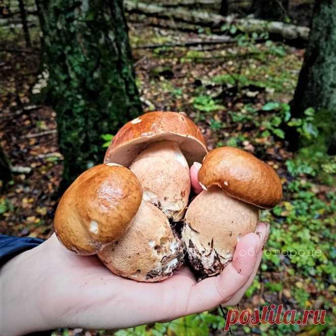 С детства неправильно научили собирать грибы. Червивые тоже нужно было брать, их легко почистить | посуДАЧИм об огороде | Яндекс Дзен