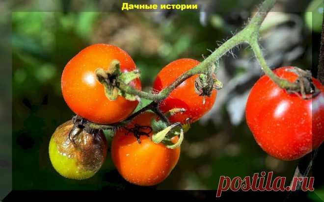 Что нужно знать о фитофторе, чтобы не потерять урожай? Фитофтора: научный подход | Дачные истории | Яндекс Дзен