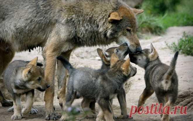 Новые фотографии смешные волчата.