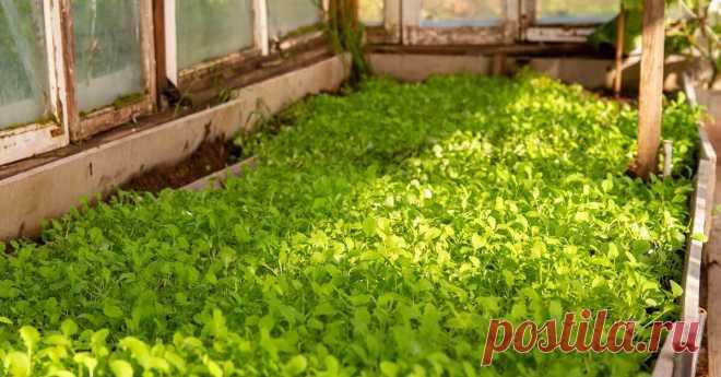 Какие сидераты лучше всего сеять в огороде и теплице весной.