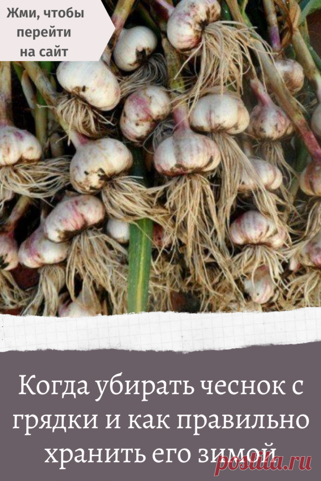 When to clean garlic from a bed and as it is correct to store it in the winter