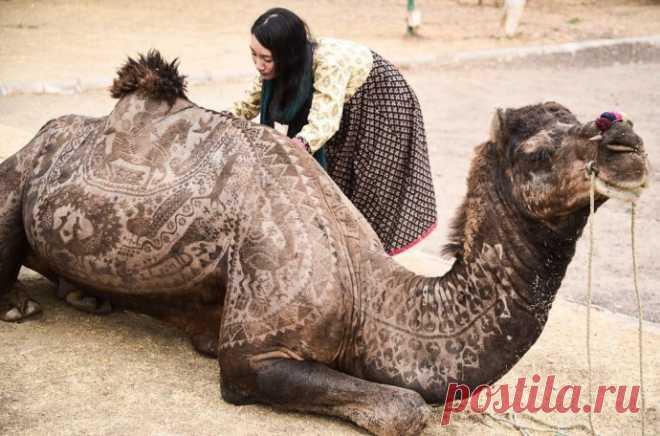 Художественная стрижка верблюдов как отдельный вид искусства