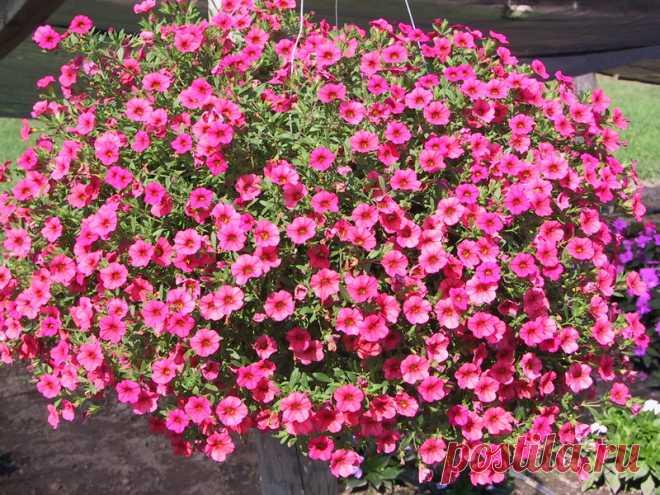 Королева балконов и террас - ампельная петуния: выращивание из семян