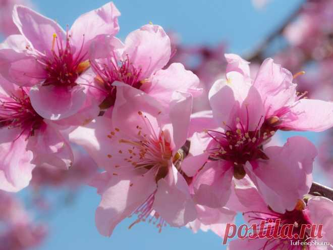 Peach flower in feng shui: value and application