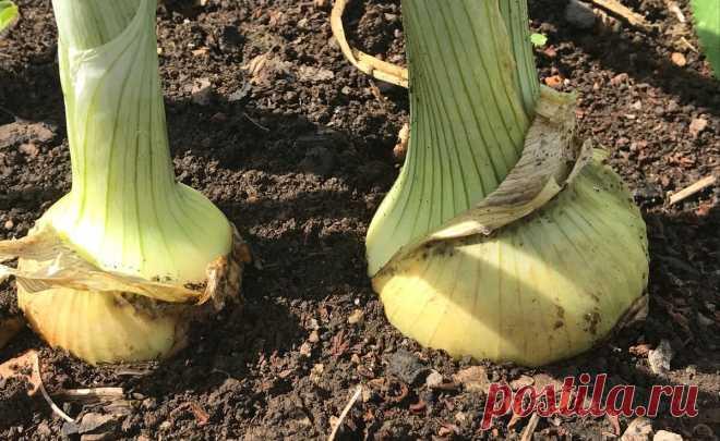 Интересный приём при посадке севка – до сих пор благодарна за эту подсказку, лук растёт в 2 раза быстрее | Зелёные истории | Яндекс Дзен