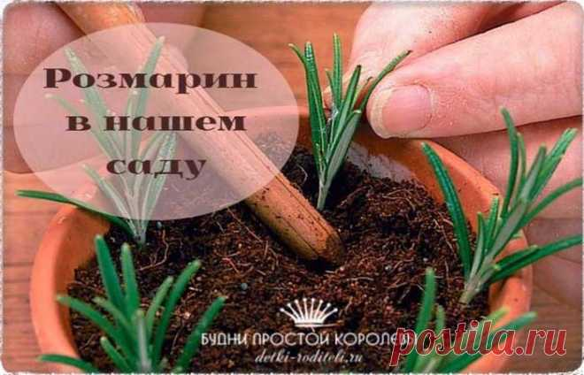 Rosemary: medicinal properties and contraindications. Photo