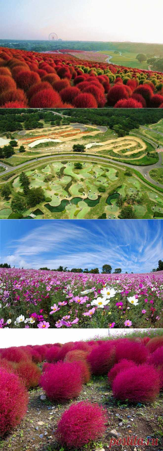 » Рассветная страна цветов «Hitachi Seaside Park» Это интересно!