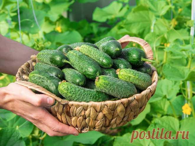 Свои огурцы — как выращивать и использовать для максимальной пользы? Фото — Ботаничка.ru