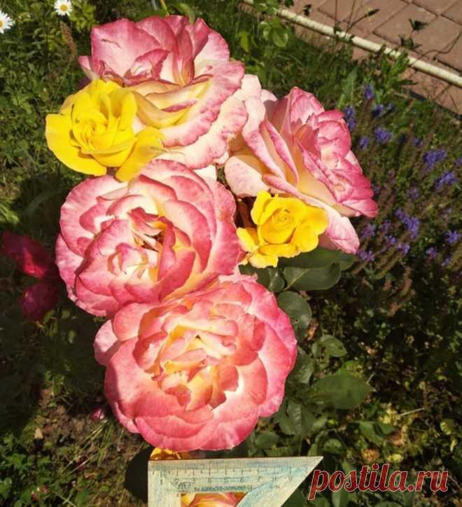 Любимая роза. Неизвестная красавица. Что за сорт? | Карельские Дачники | Яндекс Дзен
