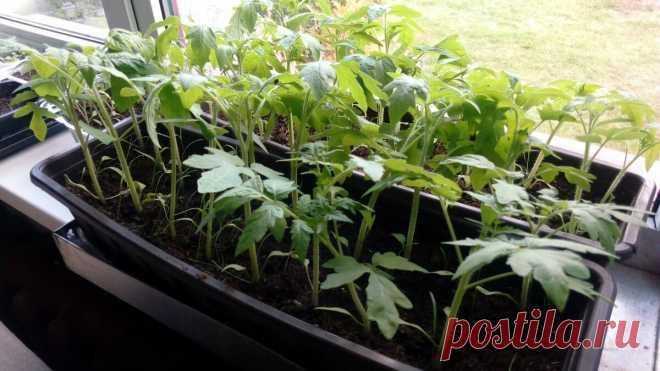 8 способов встряски рассады томатов, после которой она не растет долговязой — советы профессионала   Маленький сад на краю Вселенной   Яндекс Дзен