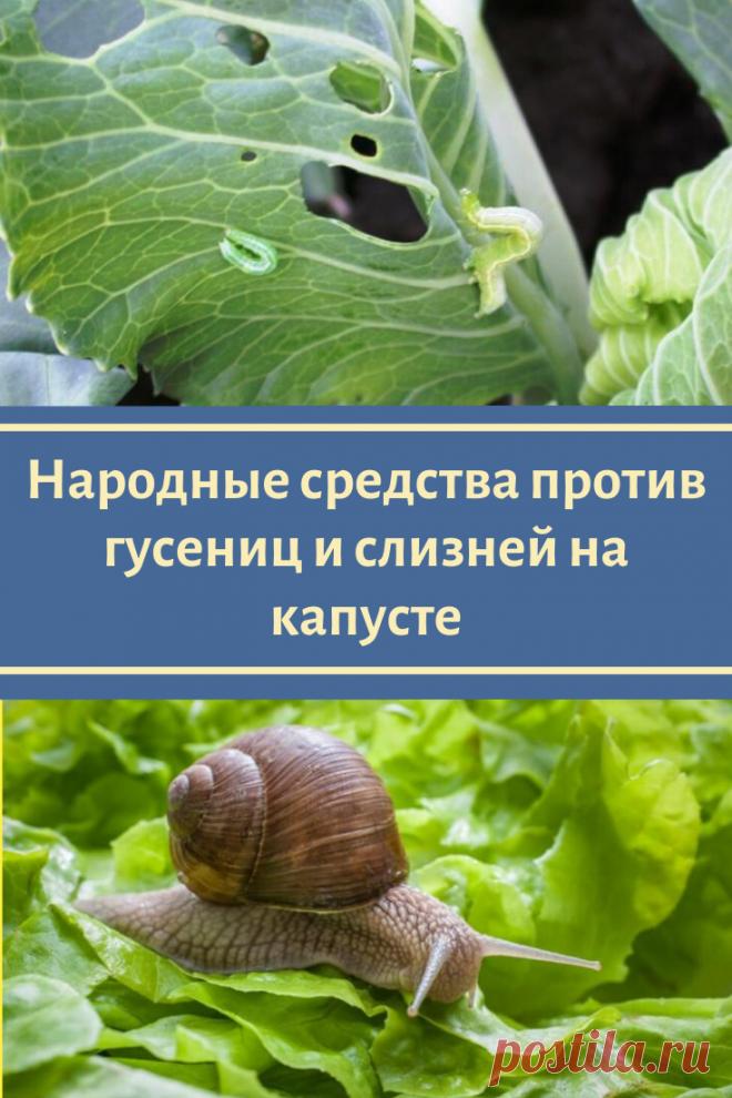 Народные средства против гусениц и слизней на капусте