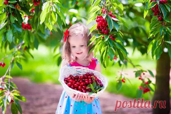 Как вырастить хороший урожай вишни и черешни » Женский Мир