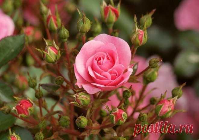 Комнатная роза уход в домашних условиях фото Одно из самых красивых растений – роза. Эта изысканная кокетка не только отличается прекрасным внешним видом, но и дивным, тонким ароматом. Однако выращивать ее сложно, не каждый может похвастаться ро...