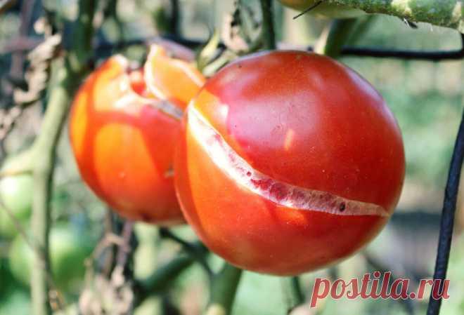 Что делать, чтобы помидоры не трескались   Садовичок   Яндекс Дзен