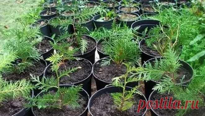 Моя любимая, дача в Instagram: «ВЫРАЩИВАЕМ ТУЮ ИЗ ЧЕРЕНКА. ⠀ В настоящее время в ландшафтном дизайне стало очень модно использовать хвойные растения. Они не прихотливы…»