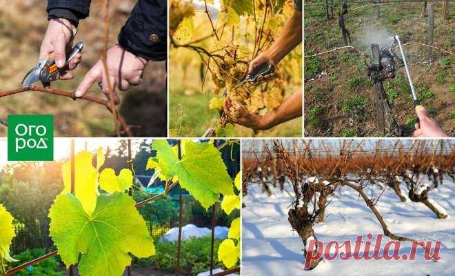 El cuidado de la uva desde la primavera hasta otoño – los consejos útiles que comienza | la Uva (Огород.ru)